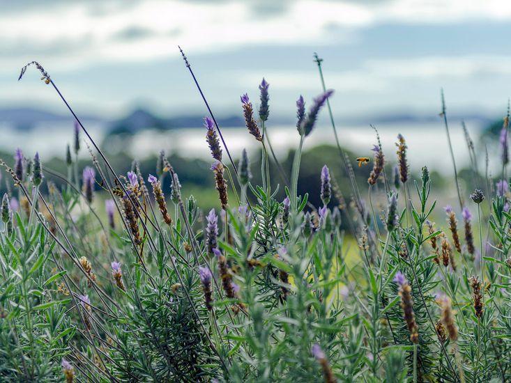 Surrounding Lavender