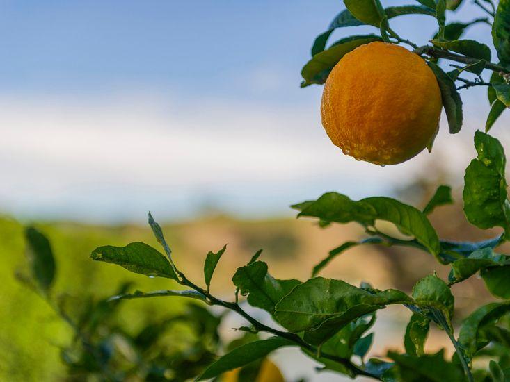 Lemons from the garden
