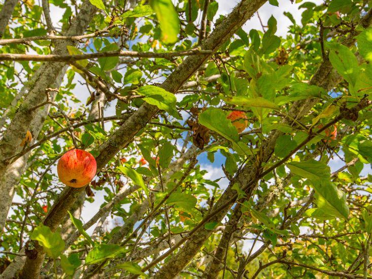 Enjoy a homegrown apple
