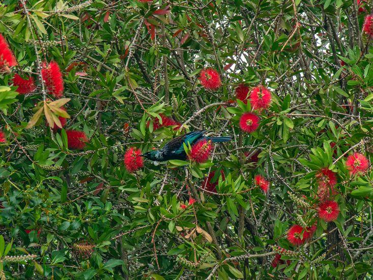 Native birds - Tui